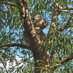 Australia - QLD - Rockhampton - koala (Harshil.Shah) Tags: koala bear sleep asleep sleeping rockhampton zoo queensland australia qld koalabear