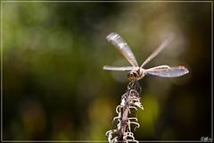 Landing (hejos54) Tags: libel canoneos5d macro ef100mmf28lmacroisusm natuur insecten