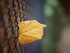 Lonely Leaf   HFF (Vintage lens lover) Tags: hff happyfencefriday fencedfriday blatt bokeh