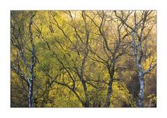 Backlight (JRTurnerPhotography) Tags: jaketurner jrturnerphotography sony sonyrx100 sonyrx100mk1 picture print image photo photograph photography photographer travel tourism tourist malvernhills britishcamp malvern aonb malvernhillsaonb worcestershire herefordshire england westmidlands midlands uk gb europe unitedkingdom greatbritain britain british britishcountryside countryside trees silverbirch hiking sunset dusk goldenhour landscape landscapephotography nature naturephotography goldenlight sunlight sun sunny spring may