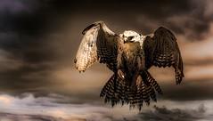 Hawk in flight (Delbrücker) Tags: hawk falke animal tier outdoor nature natur nikond610 nikkor 70200mm 28