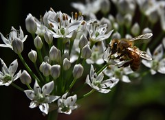 Low-Key Bee (It Sure Feels Like Fall, Love It!!!) Tags: inthebackyard garlicchiveblossoms honeybee low