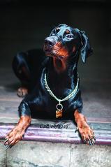 handsome doberman (n_dangthuy) Tags: cake pet dog dobermandog huntingdog hanoipetrescuecentre adopteddog 1yearold cute cutie