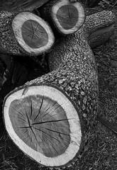 IMG_2756-logs-bw-f (posyche) Tags: lafayette logs trunks cut grain wood rings bark curved bw black white