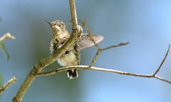 Fledgling First Flight (Lejun40) Tags: rubythroated hummingbird fledgling chick branch bird nature wildlife alabama