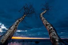 Kummardus htu poole (rene j) Tags: kask birch taevas sky htu evening pikeseloojang sunset meri sea