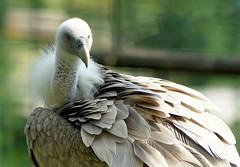 Gnsegeier (to.wi) Tags: zoo wilhelma towi 2016 vogel bird geier gnsegeier