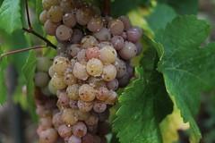Frisch geduscht und zuckers.. (julia_HalleFotoFan) Tags: weintraube wein weiserwein vitis schweigenberge saaleunstrut freyburg