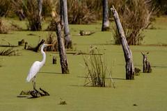Sharing a Log (brev99) Tags: egret oxleynaturecenter pond duckweed green water trees stumps d7100 tamron70300vc dxooptics8 cacorrection white bird whitebird highqualityanimals ngc tulsa oklahoma