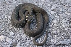 bjelouka, Kravljak (mdunisk) Tags: bjelouka natrixnatrix neotrovnaica zmija gu parkprirodezumberackosamoborskogorje umberak umberakogorje kravljak poklek budinjak peno soice mdunisk