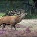 Red deer - Edelhert (in jagersjargon roodwild)  (Cervus elaphus)