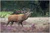 Red deer - Edelhert (in jagersjargon roodwild)  (Cervus elaphus) (Martha de Jong-Lantink) Tags: 2014 callunavulgaris cervuselaphus commonheather dewildbaan dewildbaaninhetparkdehogeveluwe edelhert edelherten edelhertenopdeveluwe gerderland hertenbronstparkhogeveluwe nationaalparkdehogeveluwe nederland paarseheide reddeer thenetherlands wildbaan