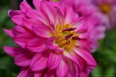 Dahlia's (Sandra Király Pictures) Tags: budapest hungary botanical garden füvészkert flower flowers outdoor summer nature
