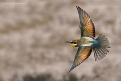 Bee-Eater (Asaru Kariyil Photography) Tags: dohabirds qatarbirds qatar bird background flyingbird flying beeeater wildlifephotography photography birdphotography light nikon nikond500 nikkor nikkor200500