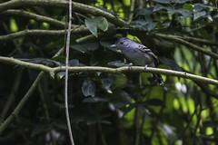 Thamnophilus ambiguus (Luiz Baroni Junior) Tags: 2016 ano aves chocadesooretamathamnophilusambiguus cidade estado fotgrafo lugares luizbaronijunior pistacludiocoutinho riodejaneiro urca brasil