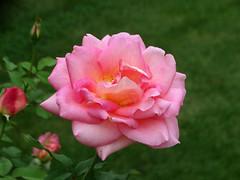 DSC00638 (gregnboutz) Tags: flower bloomingflowers bloomingflower brightflowers colorfulflower colorfulflowers macro macros colorfulmacro colorfulmacros macroflower macroflowers macroroses macrorose pink pinkflower pinkflowers pinkroses pinkrose