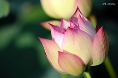 _52R7492 (Dream Deliver) Tags: beauty lotus flower