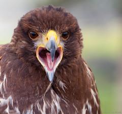 Say ah... (Glenn van Windt) Tags: parabuteounicinctus aves bird vogel birdofprey roofvogel raptor portrait buizerd harrisshawk hawk woestijnbuizerd nature natuur canonef300mmf28lisusm