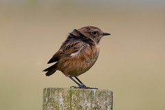 Stonechat (Simon Stobart (back but busy)) Tags: stonechat female fence post northeastengland