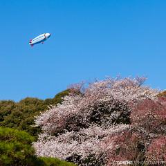 Shinjuku Gyoen / Tokyo, Japan (yameme) Tags: travel flowers nature japan canon eos tokyo shinjuku  sakura cherryblossoms      shinjukugyoen   24105mmlis 5dmarkii 5d2