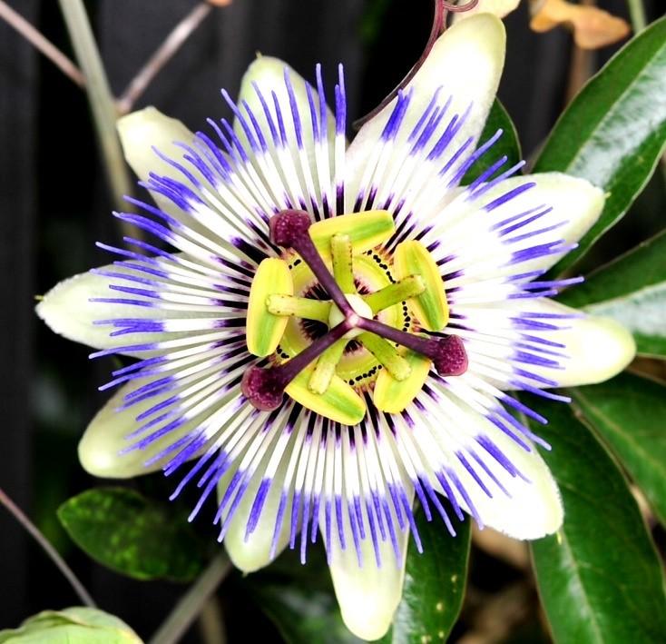 cae9cba3d Passiflora Caerulea - Fiore della passione (Giannux) Tags  flower nature  colors leaf amazing