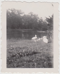 swans (1920s/30s) (indigo_mint) Tags: old 1920s lake netherlands dutch vintage germany photo 1930s swan lawn swans german 1930er 1920er