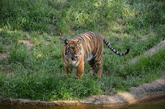 Memphis Zoo & Aquarium - Memphis, TN (Adventurer Dustin Holmes) Tags: animal animals zoo tiger bigcat tigers predator tijger tigris tigre bigcats carnivore zoos 2012 memphiszoo kaplan predators tigar mammel  tygrys harimau tygr tiikeri    mammels  tiiger tigras tigru    teris plng            tigr