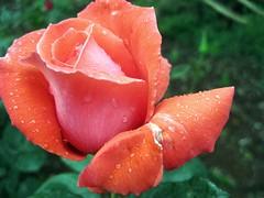 IMG_8173 - rosa fresca aulentissima .... (molovate) Tags: macro poesia rosso rugiada maggio xiiisecolo volate tafme canondigitalixus980is rosafrescaaulentissima ciullodalcamopoetasiciliano