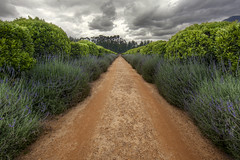 Departing the Winery (Johnny Peacock) Tags: africa travel southafrica photography capetown safari dirtroad dramaticsky hdr stellenbosch dirttrack spier hedgerow spierwinery johnnypeacock traverseearth