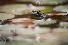 Frog in the pond (macropoulos) Tags: green topf25 water pond 500v20f frog greece crete endangered endemic animalia gettyimages cretan anura amphibia ranidae chordata canoneos5d vertebrata 1000v40f fodele 30faves30comments300views pelophylax cretensis ranacretensis raninae samyang500mmf63mirrorlens cretanfrog pelophylaxcretensis gettyimages:date_added=20120603
