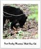 GSM Black Bear Cub (Blue-Sky Pink) Tags: cub gsm blackbear imagesbytakache