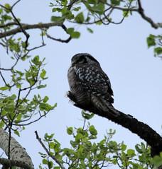 Northern Hawk Owl (K Fletcher) Tags: canada bird hawk raptor alberta owl northern northernhawkowl