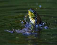 Bullfrogs Fighting 2 (RevondaG) Tags: pond amphibian fighting americanbullfrog matingbehavior defendingterritory