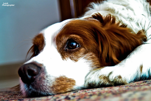 Ettore il Breton Inglese (LucaL Photographer) dog animal cane relax photo luca nikon foto photographer animale breton inglese lerda lucal coricato d3100