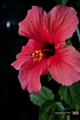 red_hibiscus (alamond) Tags: red flower macro canon us hibiscus 7d hibiscusrosasinensis ef 1740mm 1740 topaz f4l llens