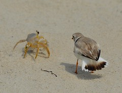 Ghost Crab and Piping Plover Confrontation (KoolPix) Tags: bird beach nature animal sand crab plover pipingplover naturephotography confrontation naturephotos ghostcrab jonesbeachny koolpix photocontesttnc12 jaydiaz jaydiaznaturephotographer birdconfrontation