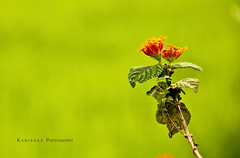 Have a blossom day my dear friends !! [Explored] (Kanishka **) Tags: red flower color green canon garden leaf colorful dof bokeh pics bangalore karnataka mysore samrat kanishka greenary 550d flowerwallpapers flowerhd