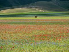 Escursionismo Sibillini - Piani di Castelluccio (fioritura)