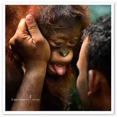 Singapore Zoo - Orang Utan (TOONMAN_blchin) Tags: orangutan singaporezoo thegalaxy toonman mygearandme mygearandmepremium mygearandmebronze mygearandmesilver mygearandmegold mygearandmeplatinum mygearandmediamond dblringexcellence tplringexcellence eltringexcellence