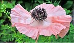 Too fragile to leave (littlestschnauzer) Tags: uk pink flowers england west flower detail macro green nature garden giant paper petals big nikon pattern open head pastel tissue yorkshire centre wide large seed pale stamen poppy poppies bloom fragile dainty emley my d5000