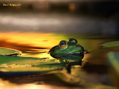 Morning frog different angle... (delrcher) Tags: 300mm tele 20 f28 e5 zd 600mm f57 naturearttnc12