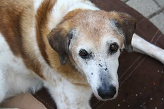 - (.selli.) Tags: old dog brown white look canon garden nose eos mixed eyes alt hund braun augen garten oldie nase mischling maiki weis 1000d