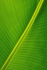 Palm (Nijule) Tags: paris france detail green leaf nikon vert palmtree contrejour palmier 2012 feuille diagonale dtail 75016 d90 serredauteuil nervure