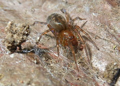 Boris at Home (clyde7995) Tags: animals closeup insect spider statenisland