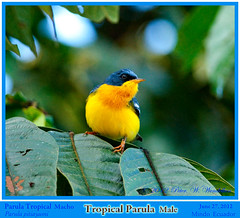 MASTER OF HIS DOMAIN. TROPICAL PARULA Parula pitiayumi Male on a Leaf Surveys His Surroundings near the Ro Mindo in Northwestern ECUADOR. Warbler Photo by Peter Wendelken. (Neotropical Pete) Tags: ecuador warbler woodwarbler mindo parula pichincha parulidae ecuadorbirds southamericanbirds tropicalparula parulapitiayumi peterwendelken ecuadorphoto neotropicalwarblers ecuadorwarblers southamericanwarblers mindowarblers warblerphotobypeterwendelken tropicalparulamale tropicalparulaphoto tropicalparulainecuador parulatropical