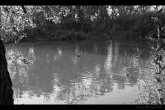 Patotos (borchuah) Tags: patos alcaldehenares ro rohenares fuji fujix100 patitos