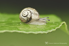 Slow moving (k4wea) Tags: reflection green wet rain leaf snail hedge 200366 dailyishphoto