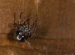 Nuctenea umbratica (Richard McMellon) Tags: macro spider arachnid walnut orb weaver nucteneaumbratica nuctenea umbratica walnutorbweaver