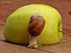 Junge Weinbergschnecke (GerWi) Tags: snail schnecken weinbergschnecken natur nature schneckenhaus apfel tiere kriechtiere lebensmittel