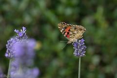 IMG_4905 (ElsSchepers) Tags: limburglavendel lavendelhoeve stokrooie kuringen hasselt natuur vlinders